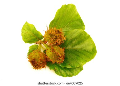 fresh sprig of beech with seeds isolated