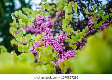 Fresh spring arrived over Cercis siliquastrum commonly known as the Judas tree or Judas-tree branch in bloom
