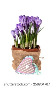Fresh spring flowers crocuses in old terracotta pot and decorative heart  isolated on white  background. Still life photo. Selective focus.