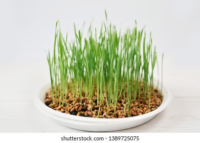 Fresh spring green grass with drops of dew, germination of wheat, isolated on white background.