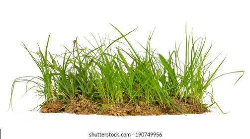 Fresh spring green grass isolated on white background, selective focus.