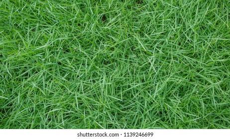 fresh spring green grass natural background texture