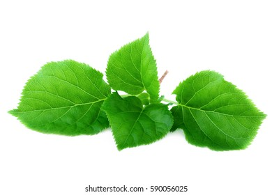 Fresh spring leaf. Green bright leaves isolated on white background