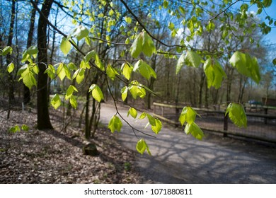 fresh spring leaves in a forest