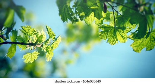 Fresh spring leaves lit by sun rays and blue sky