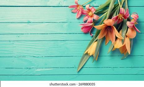Frische Frühlingsrote Tulpen blühen auf türkisfarbenen Holzplanken. Selektiver Fokus. Platz für Text. Tonisches Bild.