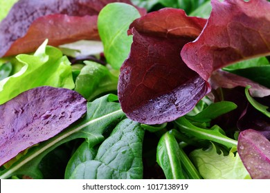 Fresh spring salad of mixed greens, mesclun, arugula, mache, lettuce, tender leaf vegetable meal, macro