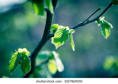 Fresh spring, young leaves in forest - beautiful nature in spring