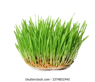 Fresh sprouted wheat grass isolated on white