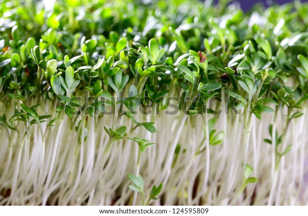 Fresh sprouts of garden cress ready for preparation