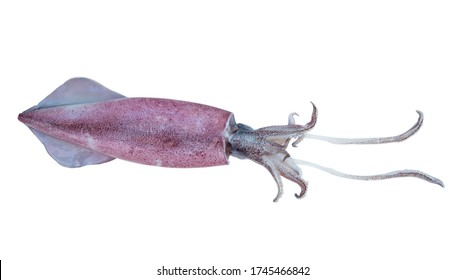 Fresh squid on isolated white background, with clipping path
