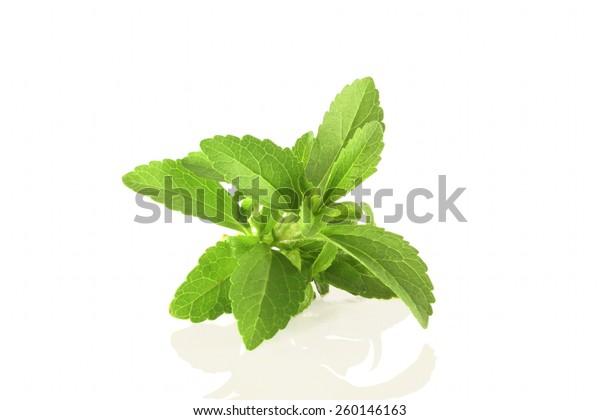fresh stevia sweetener herb in pure white background