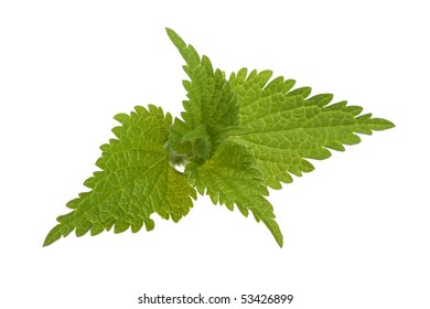 Fresh stinging nettle isolated on white background