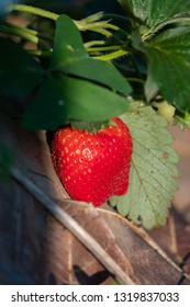 Fresh strawberries from the farm, No1