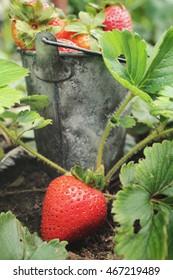 Fresh strawberries in the garden