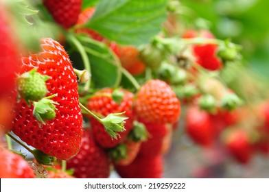 fresh strawberries from Japanese farm