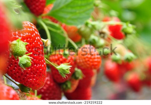 verse aardbeien van Japanse boerderij