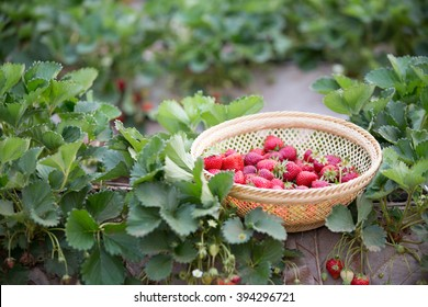 fresh strawberries on strawberrie field