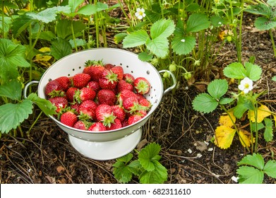 Fresh strawberries picked into a white bowl in the garden