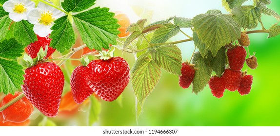 fresh  strawberries and raspberries