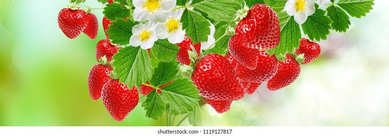 fresh strawberries summer background