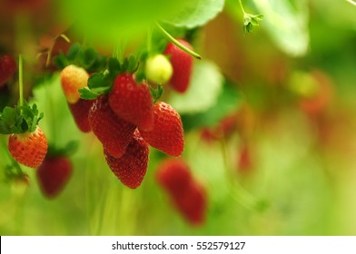 Fresh strawberries that are grown in greenhouses in Cameron Highland, Malaysia. Selective focusing and shallow depth of field.