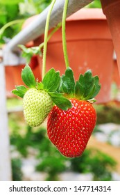 Fresh strawberry fruits hanging from plant