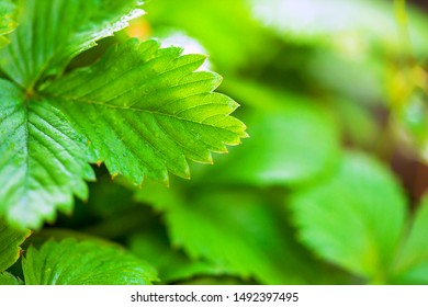 Fresh strawberry leafs with drops of water.
