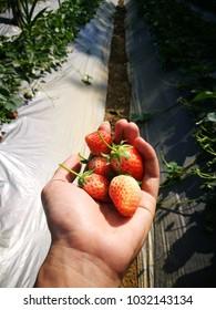 Fresh strawberry on farm