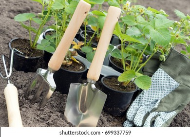 Fresh strawberry plants for planting and gardening tools