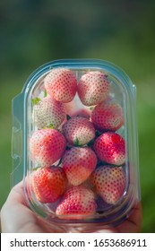 Fresh strawberry in plastic box holdinghand