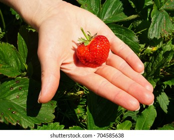 Fresh strawberry straight from the field lying on girls hand