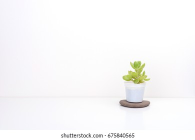 Fresh succulent plant in  white pot, on white background.