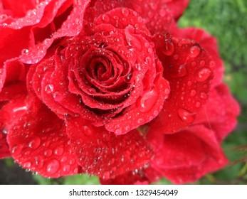 fresh summer morning, rose bloom in summer, rose in the morning dew