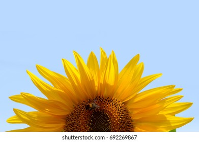 Fresh sunflower against blue sky
