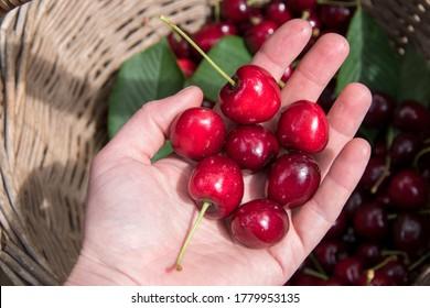 Fresh sweet cherries in a basket outdoors. Healthy juicy snack full of vitamins. Ripe red cherries top view. Fruit harvesting. Vegetarian food background. Organic berries close up