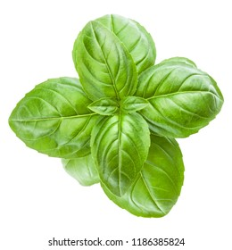 Fresh sweet Genovese basil leaves isolated on white background cutout.