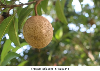 Fresh sweet sapodilla fruit with leaves on tree. Manilkara zapota or Ciku name in Malaysia - Shutterstock ID 546163843