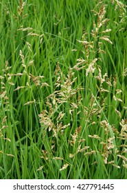 Fresh sweetgrass (Hierochloe) on the fringe of the forest in the spring