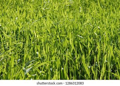 Fresh sweetgrass (Hierochloe) on the organic farm in early spring