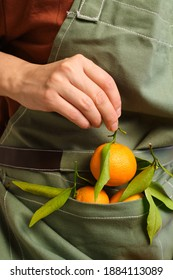 Fresh tangerines in an apron at a beautiful girl. Woman farmer harvesting sweet  natural tangerines. Handpicked healthy organic fruits with vitamins. Delicious juicy citrus tropical fruit