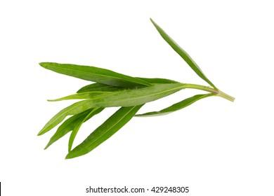 Fresh tarragon herbs, Tarragon herbs close up isolated on white