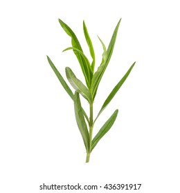 Fresh Tarragon herbs close up isolated on white