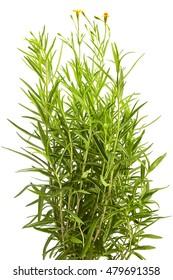 Fresh Tarragon herbs on white background