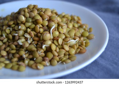 fresh, tasty lentil sprouts. seeds sprouts. organic lentil sprouts in the plate.  lentil seedlings Raw vegan healthy food. lentil sprouts macro.