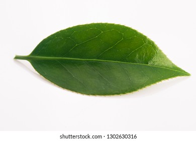 Fresh tea leaf isolated on the white background