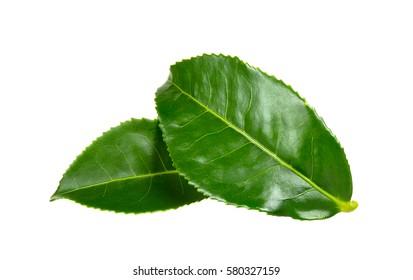 Fresh Tea leaf isolated on the white background.