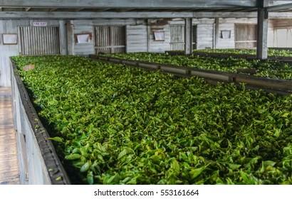 Fresh tea leafs before drying. Tea factory, Sri Lanka.