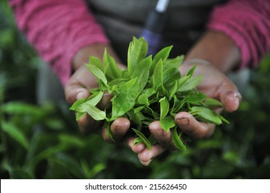 Fresh tea leafs in woman's hand, at tea garden, Darjeeling, India
