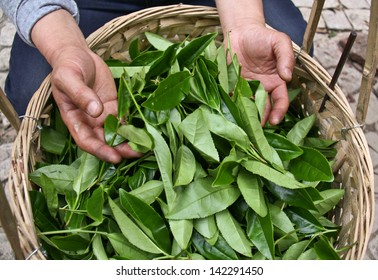 Fresh tea leaves are collected in baskets for further processing.